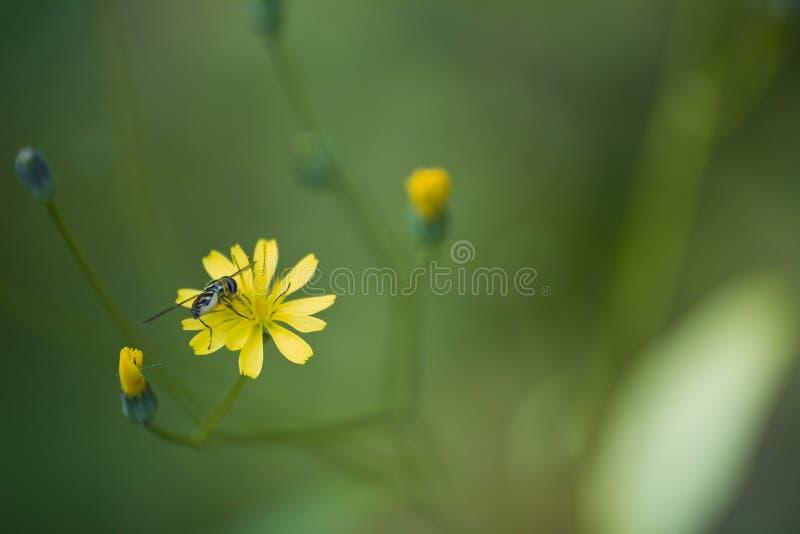 Πεινασμένη μέλισσα σε ένα λουλούδι στοκ φωτογραφία