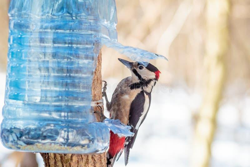 Πεινασμένος άγριος δρυοκολάπτης πουλιών σε ένα δέντρο στοκ εικόνα με δικαίωμα ελεύθερης χρήσης