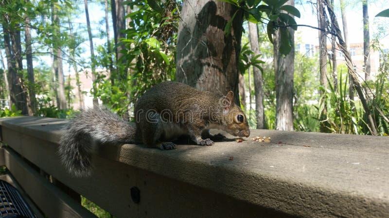 Πεινασμένος μεγαλοπρεπής σκίουρος στοκ εικόνες
