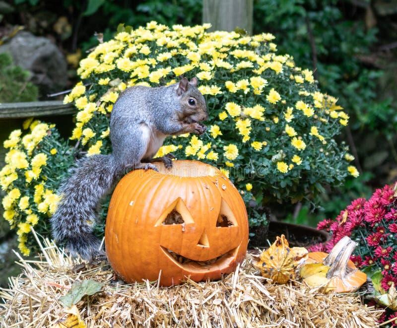Πεινασμένος σκίουρος απολαμβάνει σπόρους κολοκύθας στοκ εικόνες με δικαίωμα ελεύθερης χρήσης