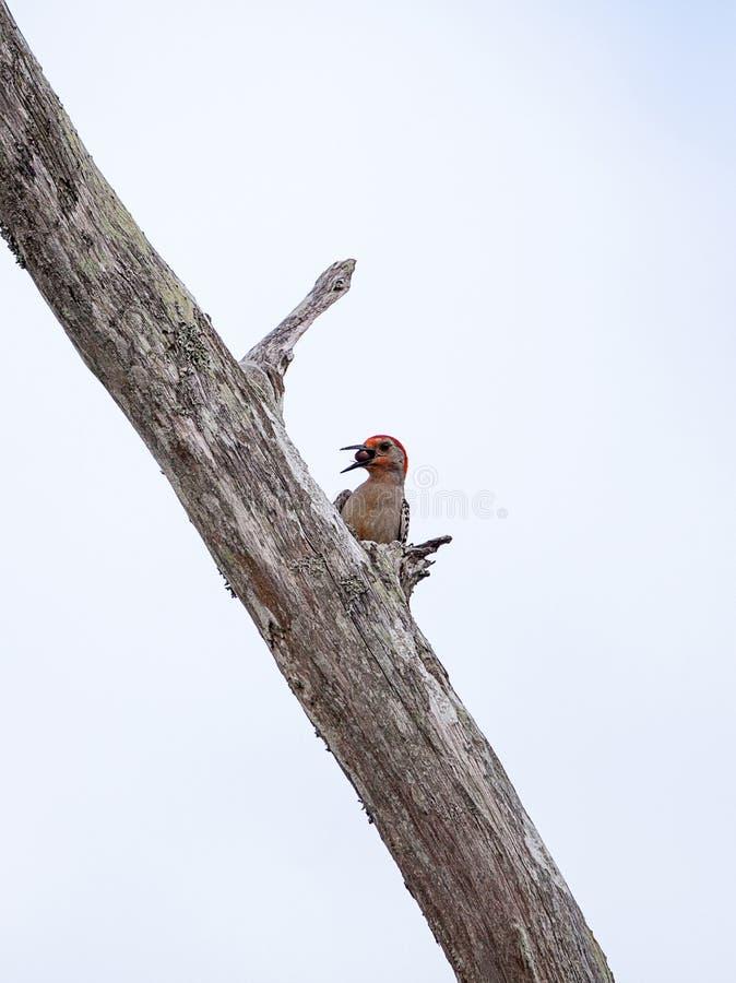 Πεινασμένο κόκκινος-διογκωμένο carolinus Melanerpes πουλιών δρυοκολαπτών στοκ εικόνες
