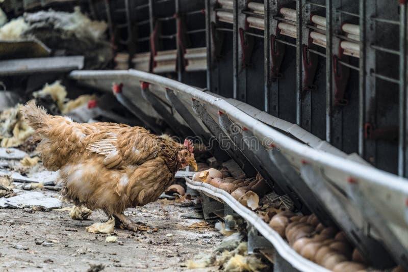 Πεινασμένο περιπλαμένος κοτόπουλο Ατύχημα στη αγροτική παραγωγή στοκ εικόνες με δικαίωμα ελεύθερης χρήσης