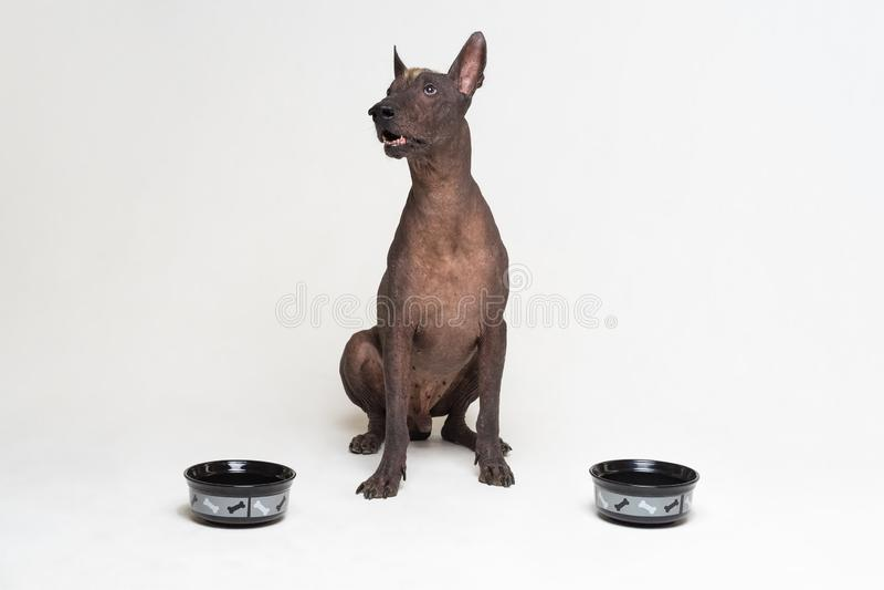 Πεινασμένο σκυλί μεταξύ δύο κύπελλων xoloitzcuintli, μεξικάνικο άτριχο σκυλί, αναμονή και βλέμματα για να έχει επάνω γεμισμένα τα στοκ φωτογραφία