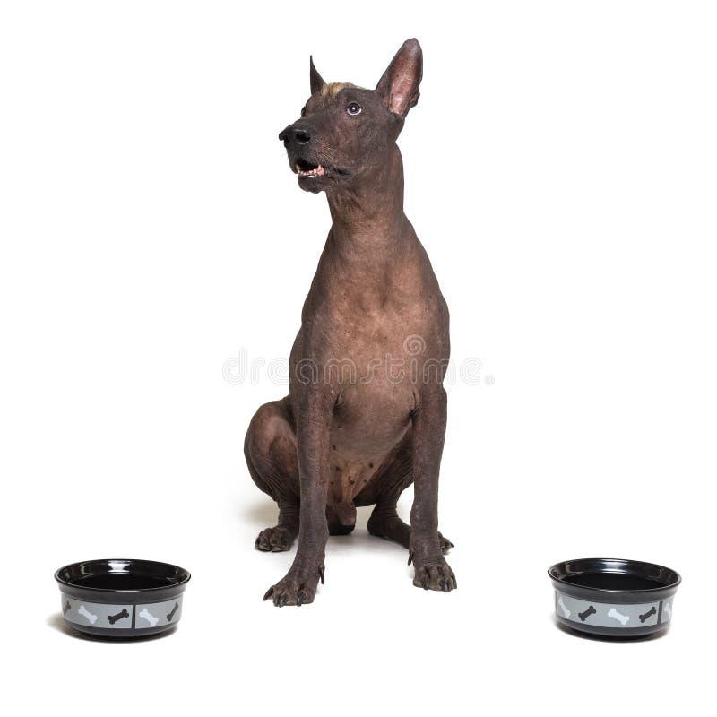 Πεινασμένο σκυλί μεταξύ δύο κύπελλων xoloitzcuintli, μεξικάνικο άτριχο σκυλί, αναμονή και βλέμματα επάνω να απομονώσει γεμισμένα  στοκ εικόνες