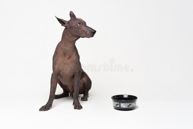 Πεινασμένο σκυλί με ένα κύπελλο xoloitzcuintli, μεξικάνικο άτριχο σκυλί, αναμονή και βλέμματα για να έχει επάνω γεμισμένα τα κύπε στοκ εικόνες