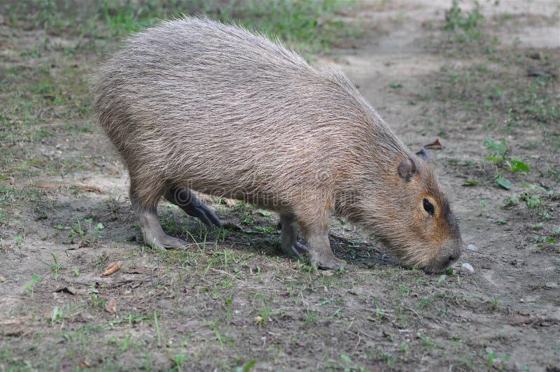 Πεινασμένο capibara στοκ φωτογραφίες