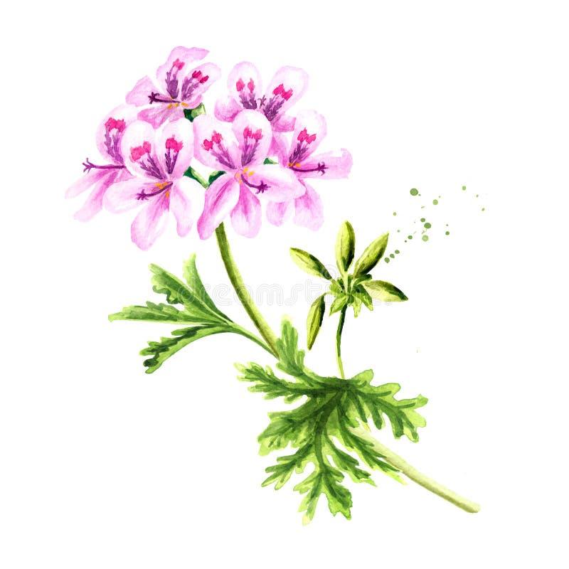Πελαργόνιο graveolens ή πελαργόνιο Χ asperum, φυτό γερανιών, λουλούδι με τα φύλλα Συρμένη χέρι απεικόνιση Watercolor, που απομονώ ελεύθερη απεικόνιση δικαιώματος