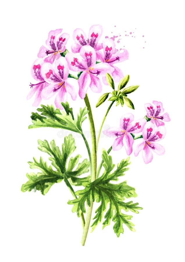 Πελαργόνιο graveolens ή πελαργόνιο Χ asperum, φυτό γερανιών, λουλούδι με τα φύλλα Συρμένη χέρι απεικόνιση Watercolor που απομονών διανυσματική απεικόνιση