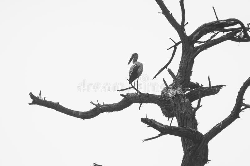 Πελαργός ή Ασιάτης Openbilled ανοικτός στο δέντρο στοκ εικόνα