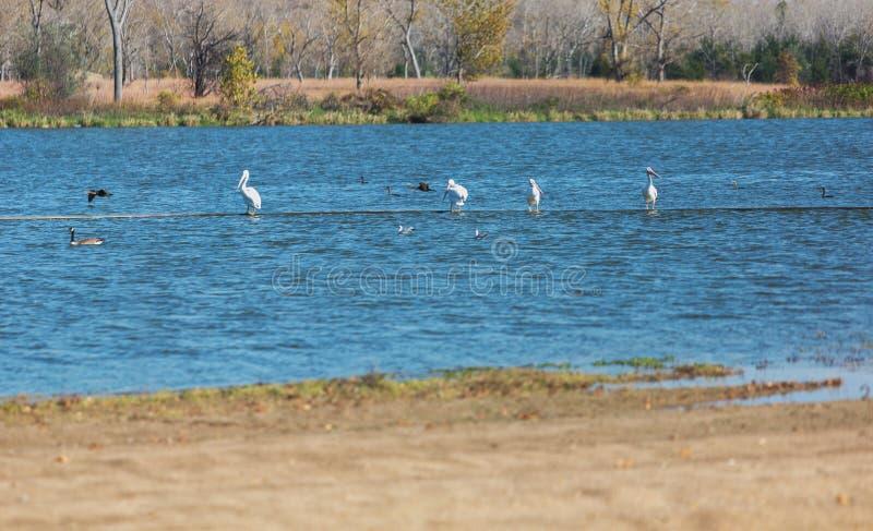 Πελεκάνοι και ερωδιοί στη λίμνη Milford στοκ φωτογραφίες με δικαίωμα ελεύθερης χρήσης