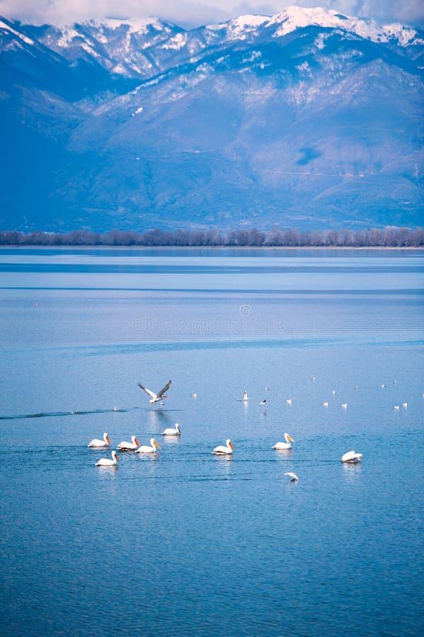 πελεκάνος λιμνών στοκ εικόνα με δικαίωμα ελεύθερης χρήσης