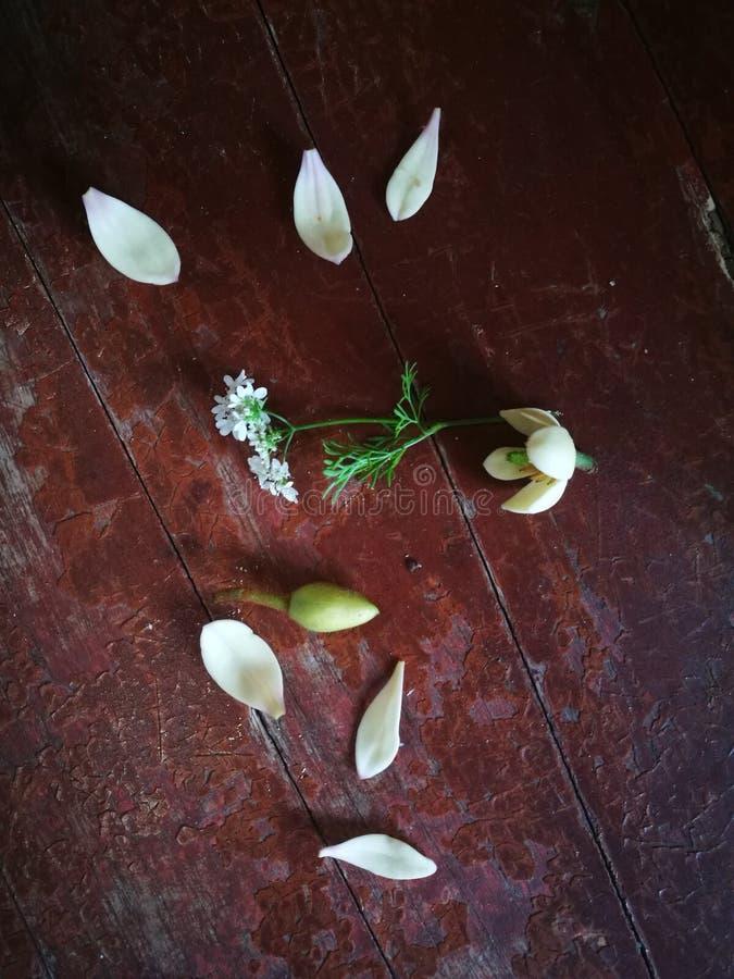 Πεντάλια Magnolia που βρίσκονται στον ξύλινο πίνακα στοκ εικόνα
