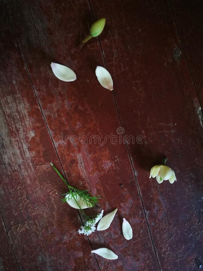 Πεντάλι και βολβός Magnolia που βρίσκονται στον ξύλινο πίνακα στοκ φωτογραφία με δικαίωμα ελεύθερης χρήσης