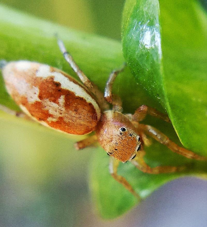 Πεπόνι όπως το άλμα της αράχνης στοκ εικόνα