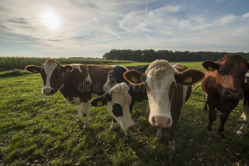 Περίεργες ολλανδικές αγελάδες σε ένα λιβάδι κοντά σε Winterswijk στοκ εικόνα