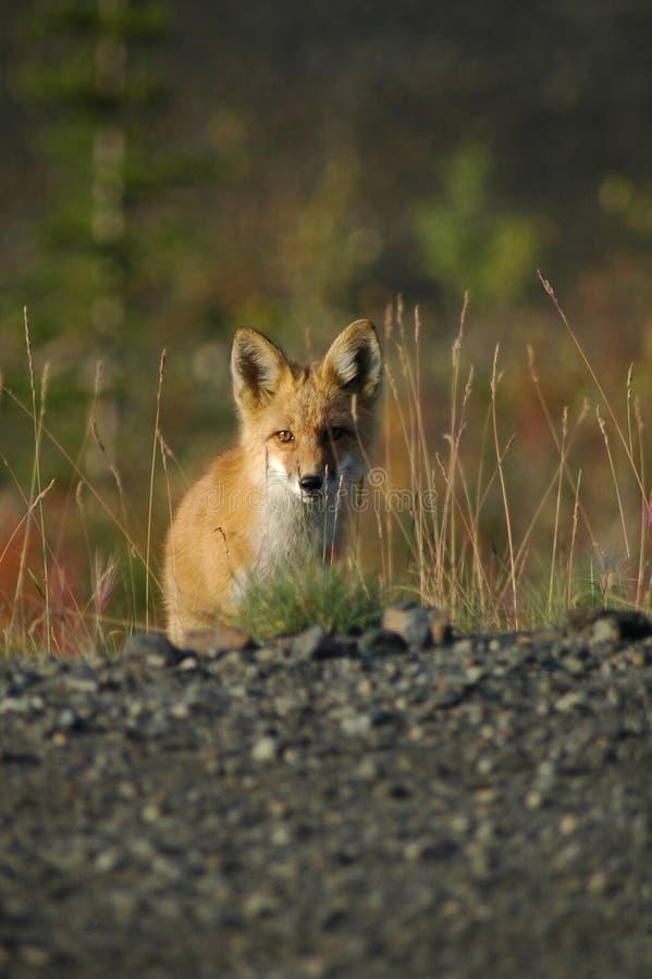 περίεργη αλεπού στοκ εικόνες