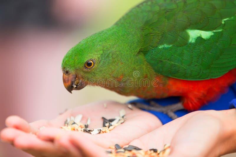 Περίεργος αυστραλιανός βασιλιάς-παπαγάλος (scapularis Alisterus) στοκ φωτογραφίες με δικαίωμα ελεύθερης χρήσης