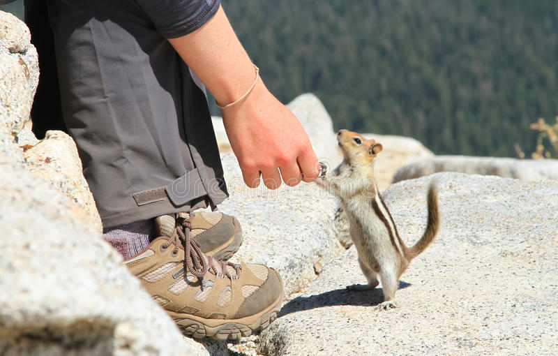 Περίεργος επίγειος σκίουρος στο εθνικό πάρκο Yosemite στοκ φωτογραφία