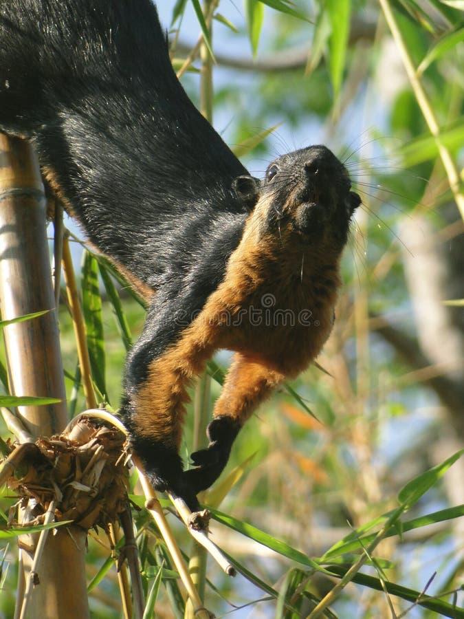 Περίεργος μαλαισιανός σκίουρος στοκ εικόνες