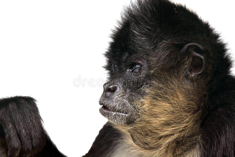 περίεργος πίθηκος στοκ εικόνα με δικαίωμα ελεύθερης χρήσης