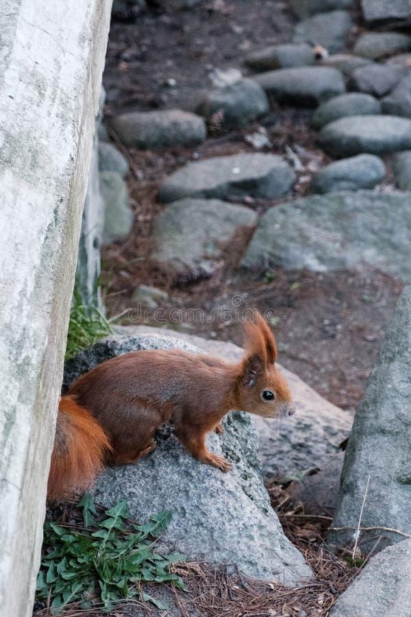 Περίεργος σκίουρος που κρυφοκοιτάζει έξω από κάτω από τη γέφυρα στοκ εικόνες με δικαίωμα ελεύθερης χρήσης