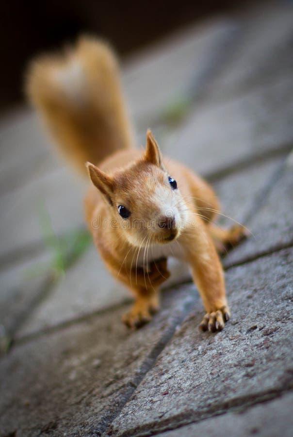 Περίεργος redhead σκίουρος που περπατά στο πάρκο στοκ εικόνες με δικαίωμα ελεύθερης χρήσης
