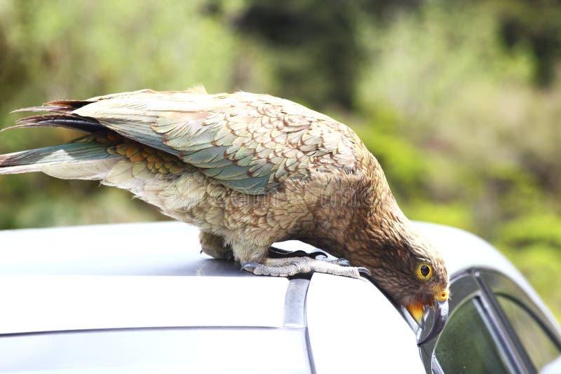 Περίεργο αυτοκίνητο δαγκώματος παπαγάλων της Kea, Νέα Ζηλανδία στοκ εικόνα