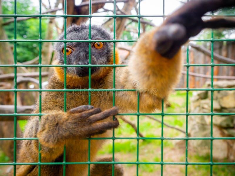 Περίεργο καστανό λεμούριο στοκ εικόνα με δικαίωμα ελεύθερης χρήσης
