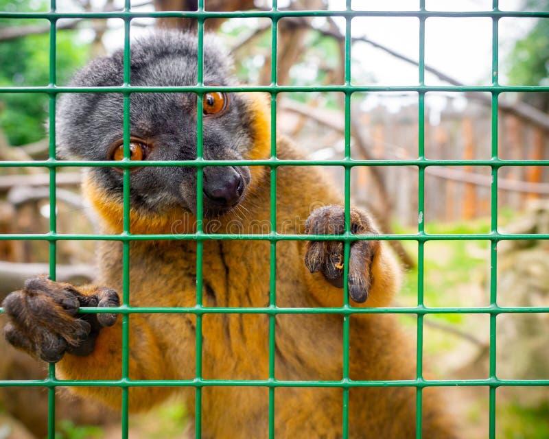 Περίεργο καστανό λεμούριο στοκ φωτογραφία