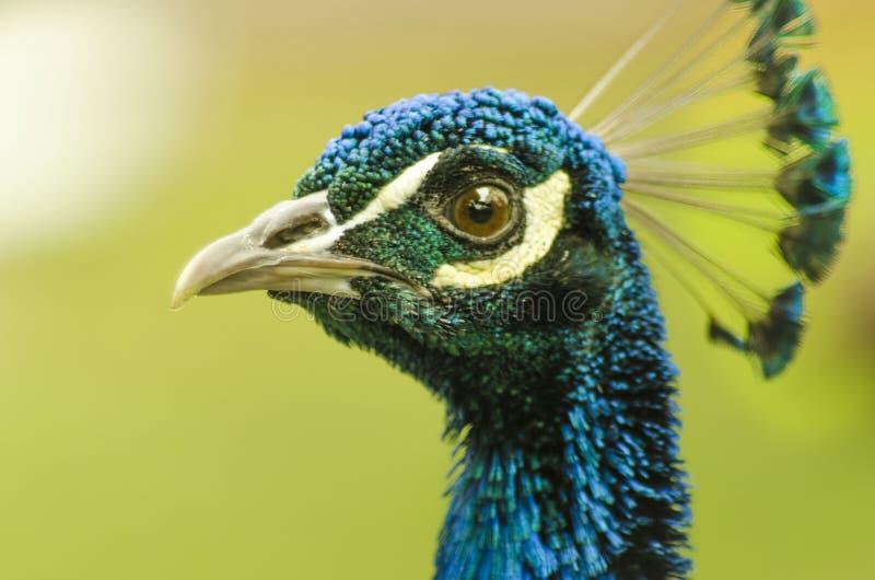 Περίεργο να φανεί Peacock στοκ φωτογραφίες