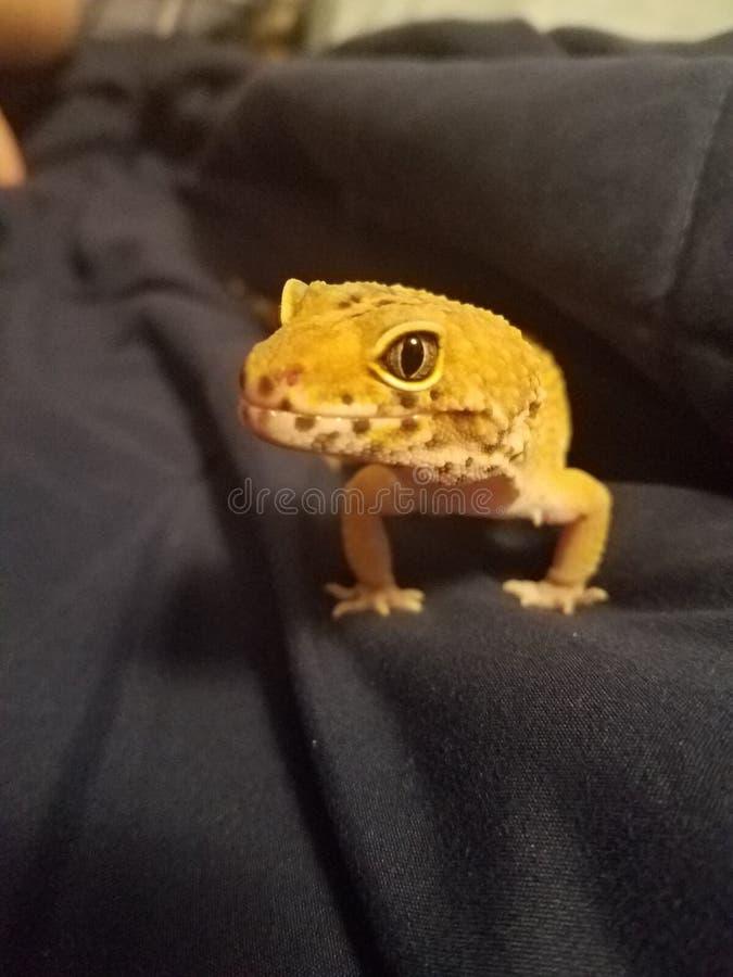περίεργο gecko στοκ εικόνες