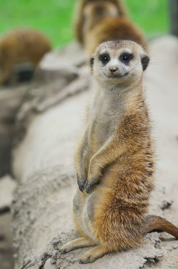 περίεργο meercat στοκ εικόνες