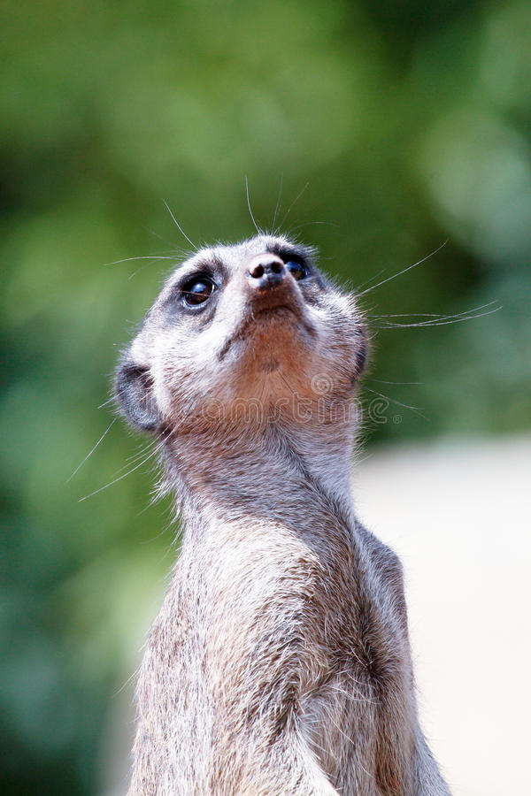 περίεργο meerkat στοκ εικόνες με δικαίωμα ελεύθερης χρήσης