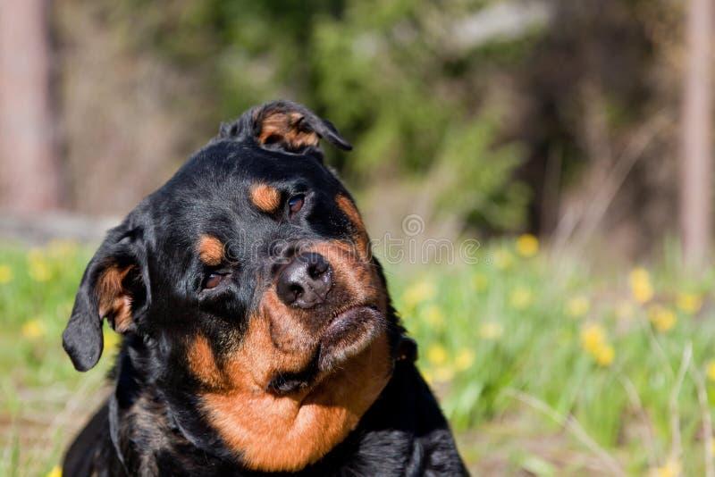 Περίεργο Rottweiler στοκ φωτογραφία με δικαίωμα ελεύθερης χρήσης