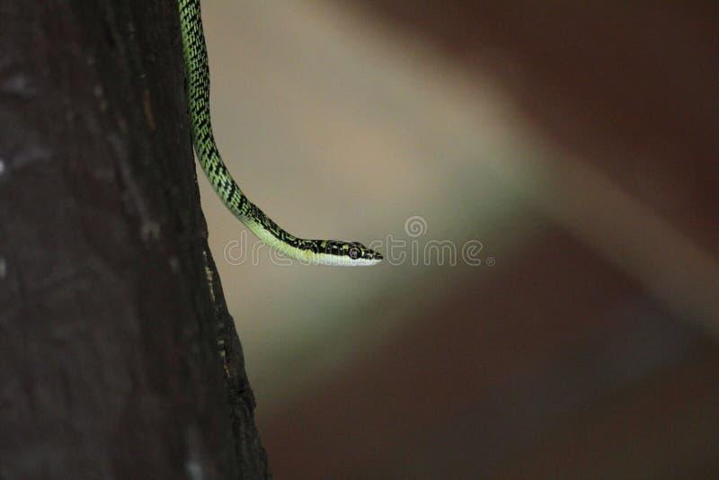 Περίκομψο πετώντας φίδι στοκ εικόνα με δικαίωμα ελεύθερης χρήσης