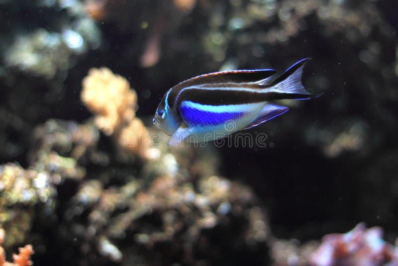 Περίκομψο angelfish στοκ εικόνες