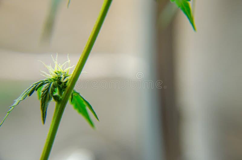 Περίοδος ανθοφορίας της Medical Marijuana Ποικιλία κοντά στοκ εικόνες