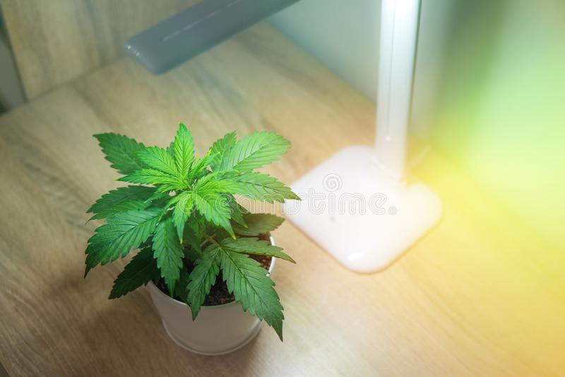 Περίοδος βλάστησης Αυξανόμενος τη μαριχουάνα στο σπίτι Φύλλα μαριχουάνα Καννάβεις επάνω στον πίνακα στοκ εικόνα