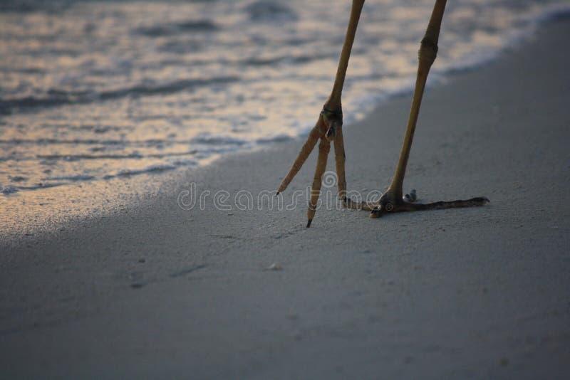 Περίπατοι ερωδιών κατά μήκος της παραλίας στοκ φωτογραφία με δικαίωμα ελεύθερης χρήσης
