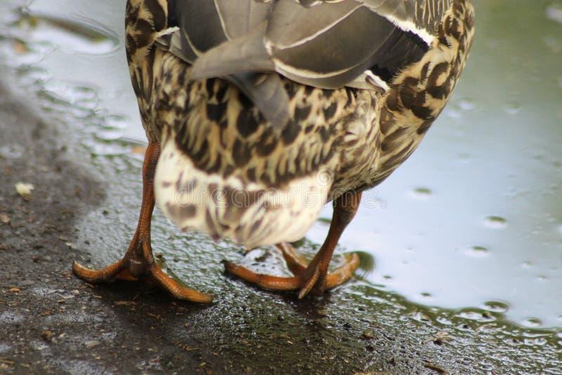 Περίπατοι ΠΑΠΙΩΝ, μια πάπια Οπισθοσκόπος της πάπιας Υπάρχουν πόδια και φτερά ουρών στοκ εικόνες με δικαίωμα ελεύθερης χρήσης