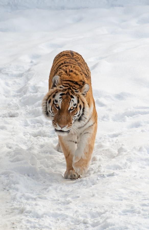 Περίπατοι τιγρών στο χιόνι στοκ φωτογραφία με δικαίωμα ελεύθερης χρήσης