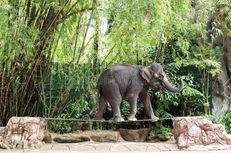 Περίπατος ελεφάντων στο σχοινί σχοινοβασίας στοκ εικόνες