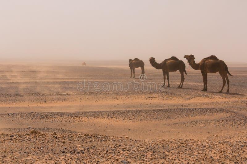 Περίπατος τριών καμηλών μέσω της Erg ερήμου Chebbi μέσω μιας αμμοθύελλας, Μαρόκο στοκ φωτογραφία