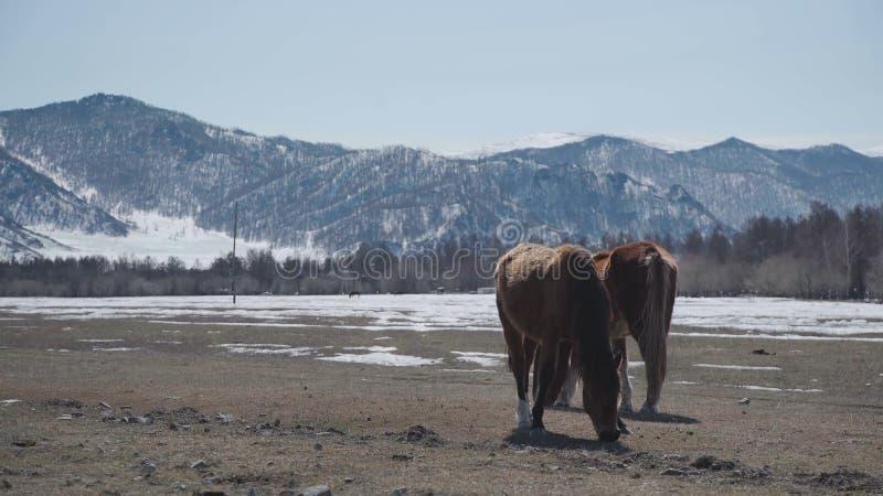 Περίπατος δύο όμορφος αλόγων στα βουνά άγρια περιοχές φύσης ζωής οικογενειακών αλόγων στοκ εικόνα με δικαίωμα ελεύθερης χρήσης