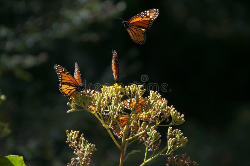 Περιβαλλοντικά προστατευόμενη περιοχή βιόσφαιρας πεταλούδων μοναρχών, Michoacan (Μεξικό) στοκ εικόνες