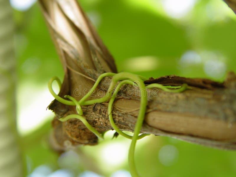 περικάλυμμα grapewine tendril στοκ φωτογραφία