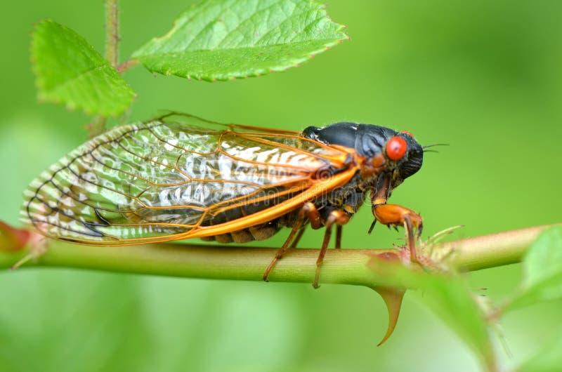 Περιοδικό Cicada στοκ φωτογραφίες