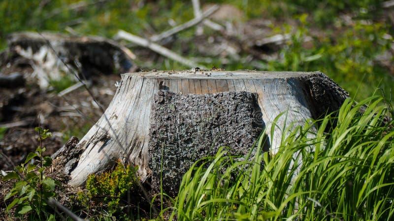 Περιορίστε το δέντρο στη Φινλανδία στοκ εικόνες