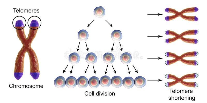 Περιορισμός Telomere με κάθε κύκλο της κυτταροδιαίρεσης διανυσματική απεικόνιση