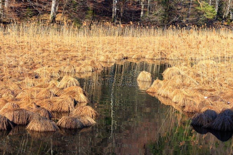 Περιοχή συντήρησης λιμνών Alpsee με τους καλάμους και τη βιασύνη στοκ εικόνα με δικαίωμα ελεύθερης χρήσης